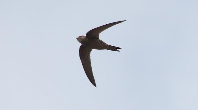 Mottled Swift
