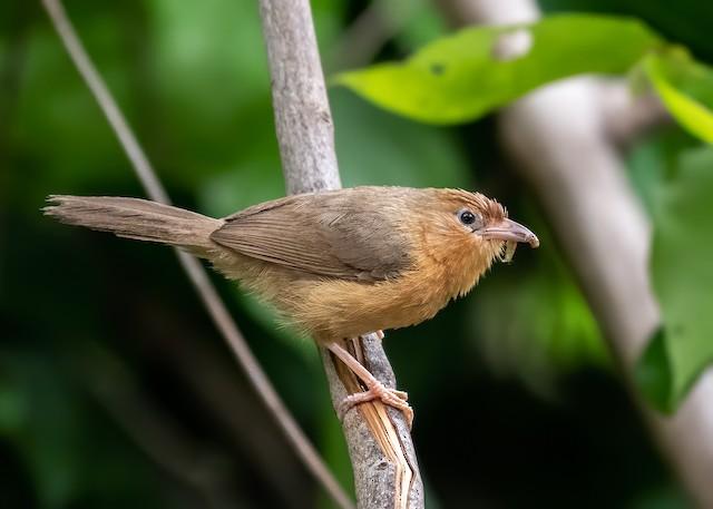 ©Souvik Roychoudhury - Tawny-bellied Babbler