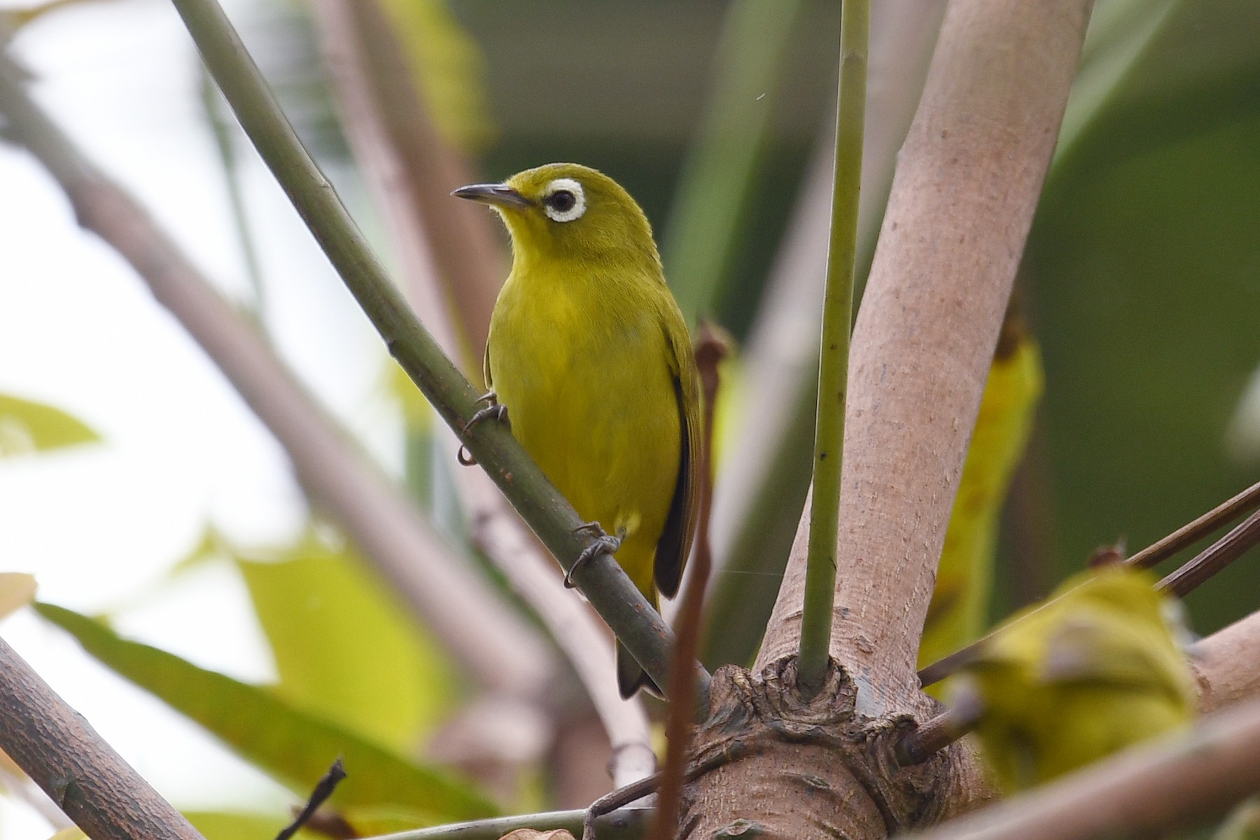 Yellow-fronted White-eye - Michael Fuhrer