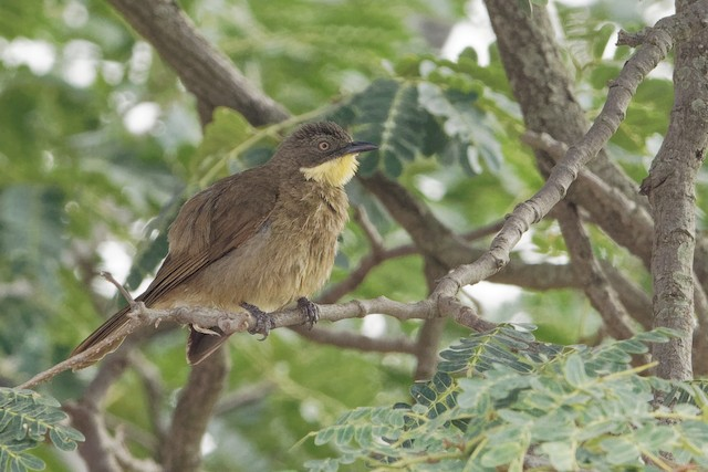 Yellow-throated Greenbul (flavigula)