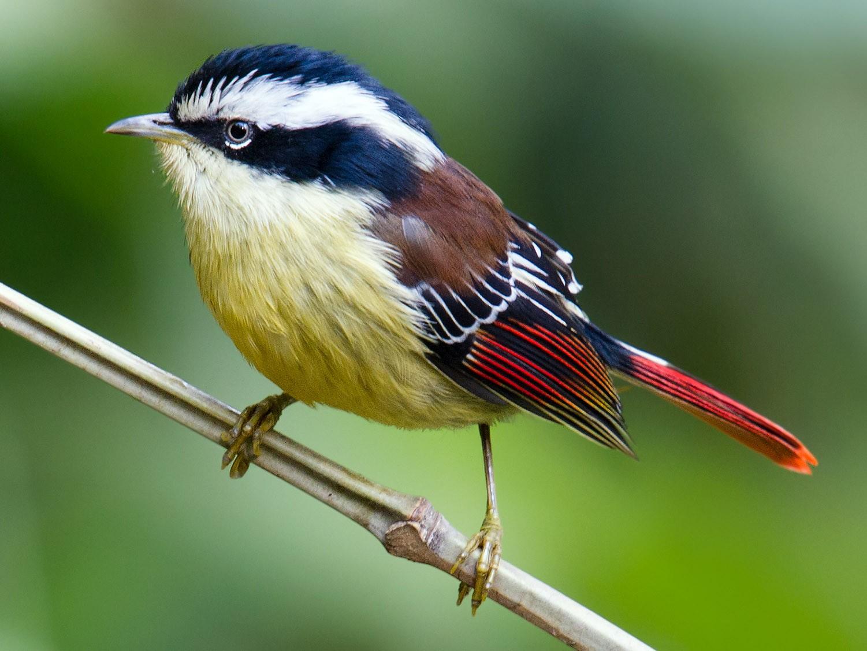 Red-tailed Minla - Craig Brelsford