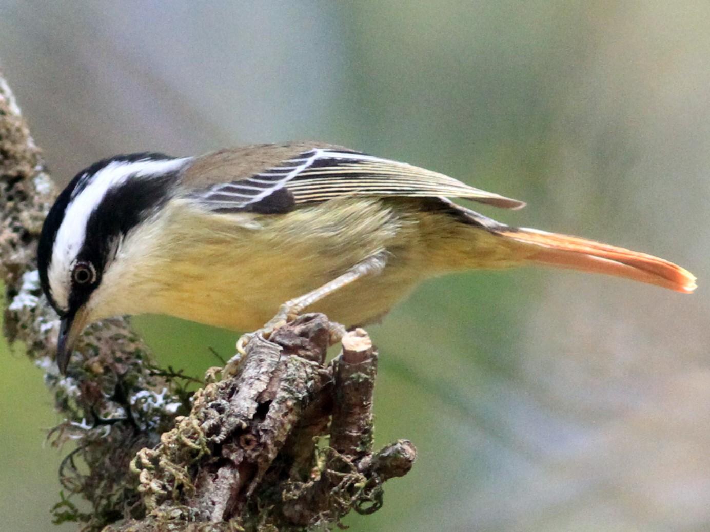 Red-tailed Minla - Anupam Khanna
