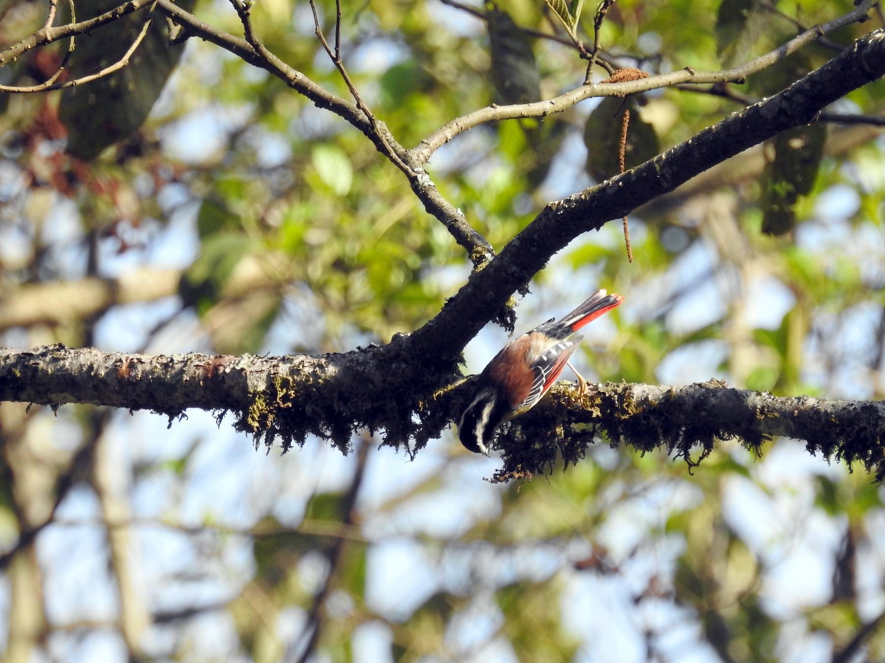 Red-tailed Minla - Ashwin Viswanathan