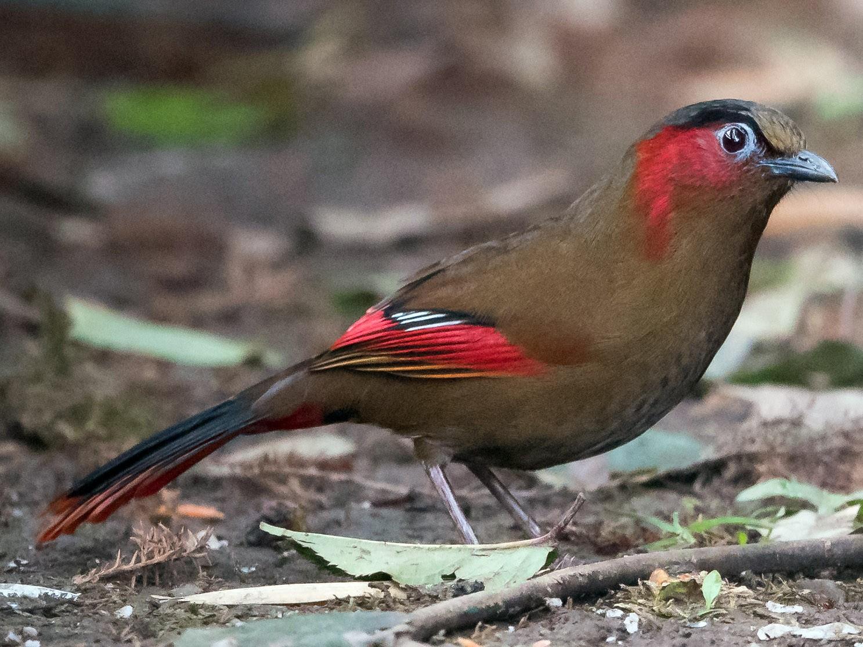 Red-faced Liocichla - Prashant Tewari