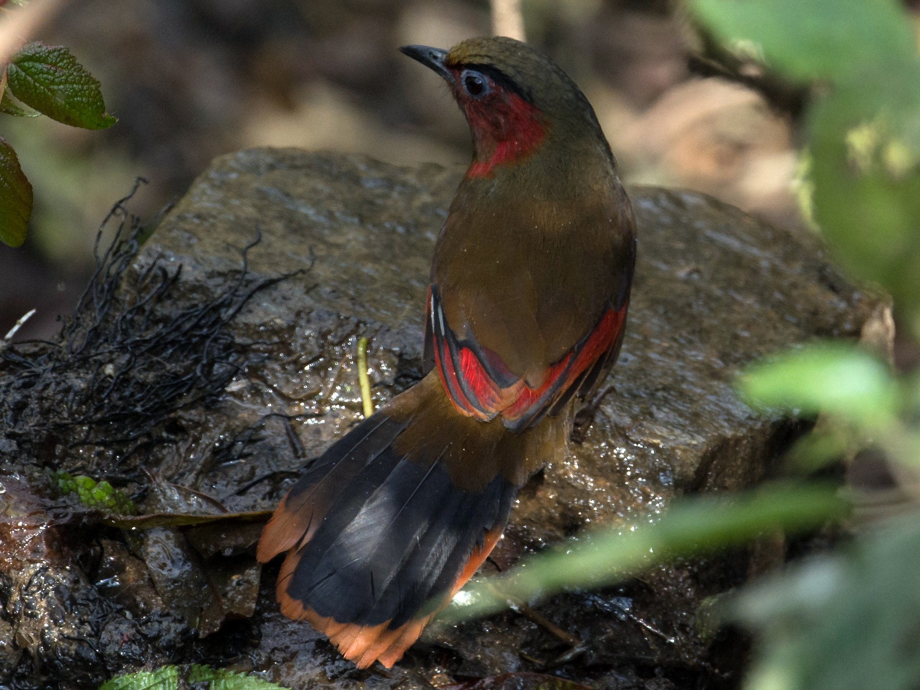 Red-faced Liocichla - Arup Banerjee