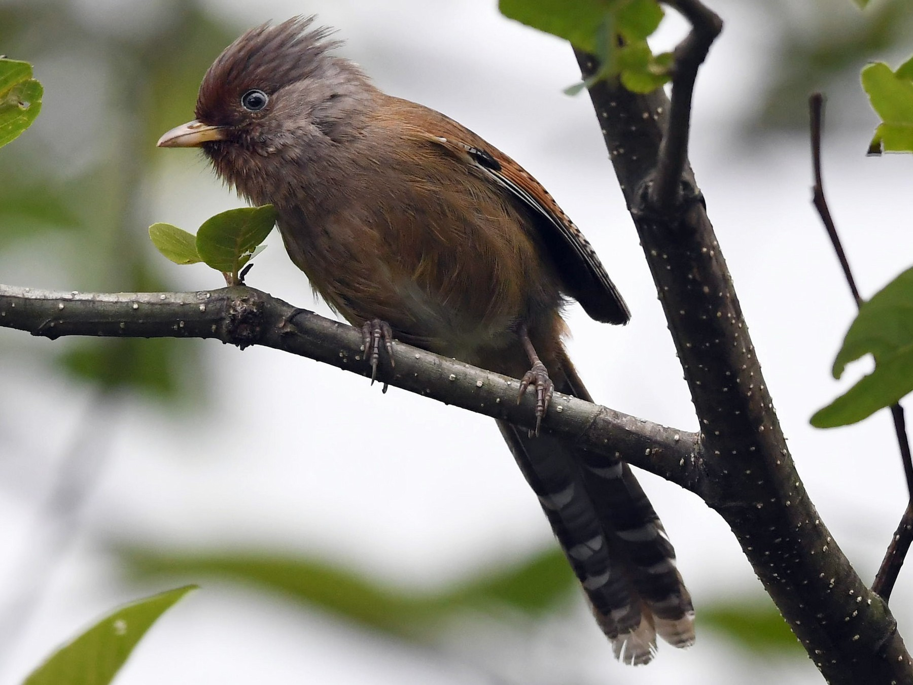 Rusty-fronted Barwing - Sriram Reddy