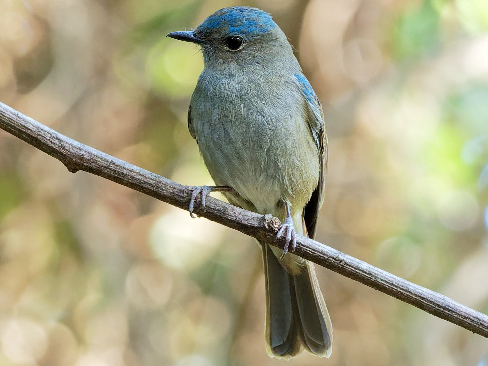Pale Blue Flycatcher - Vincent Wang