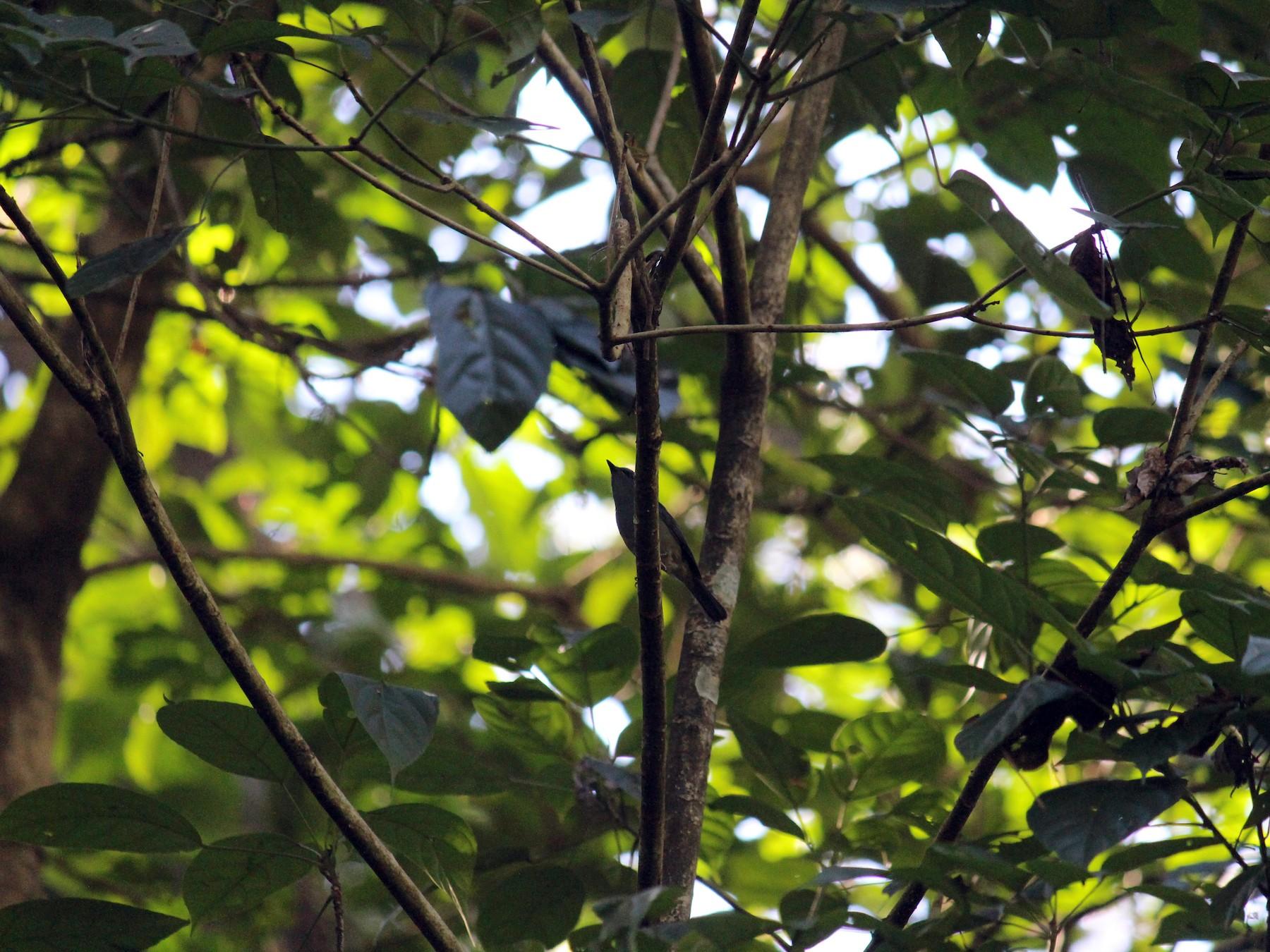 Pale Blue Flycatcher - Ashwin Viswanathan