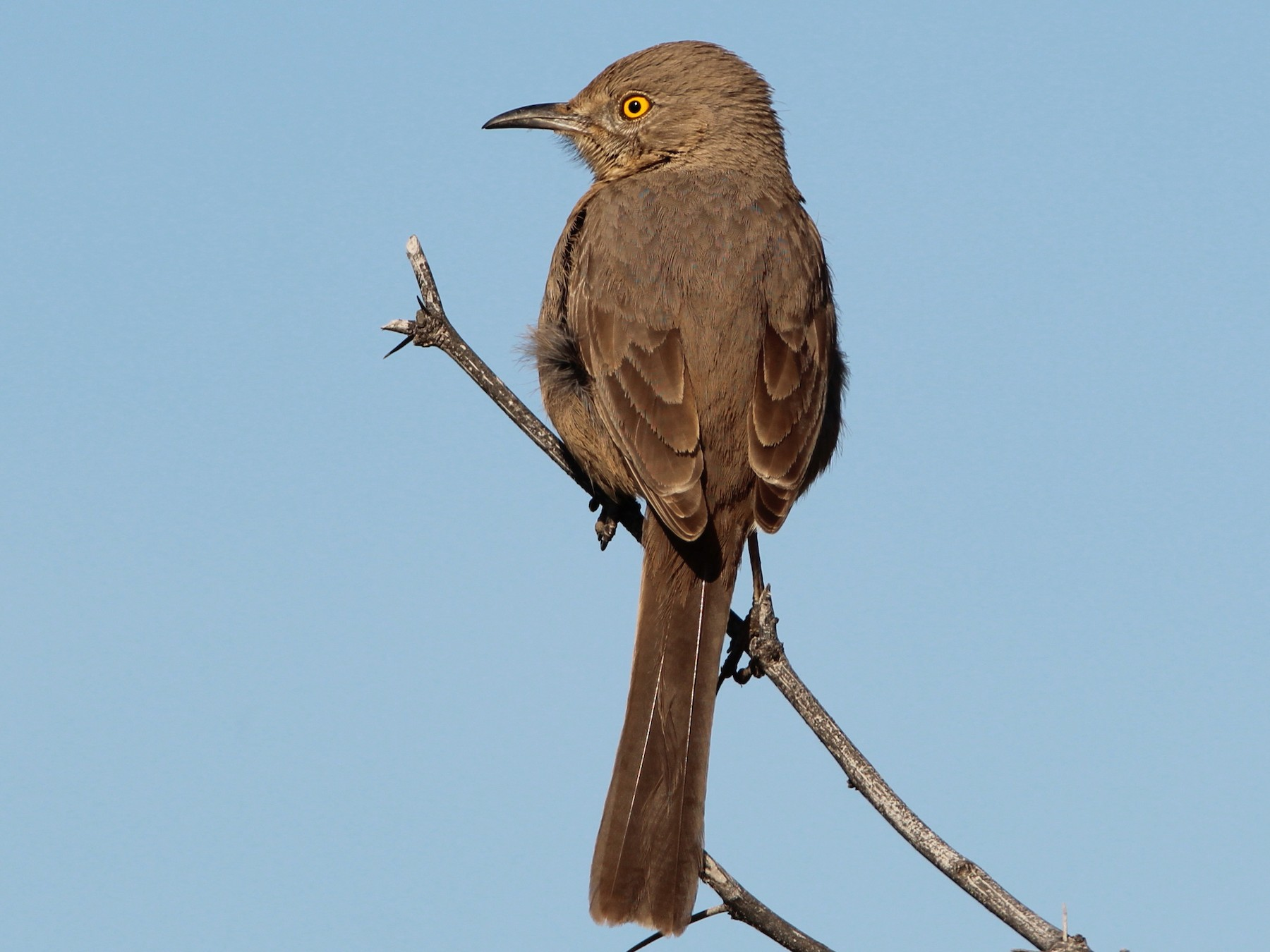 Bendire's Thrasher - Mark  Brown