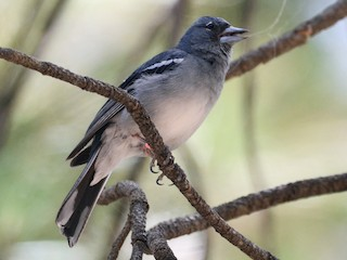 - Gran Canaria Blue Chaffinch