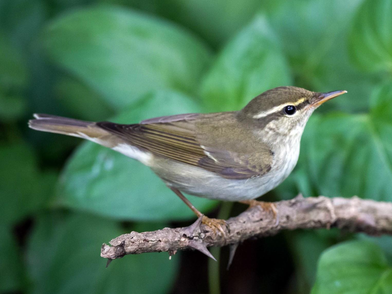 Kamchatka Leaf Warbler - Kai Pflug