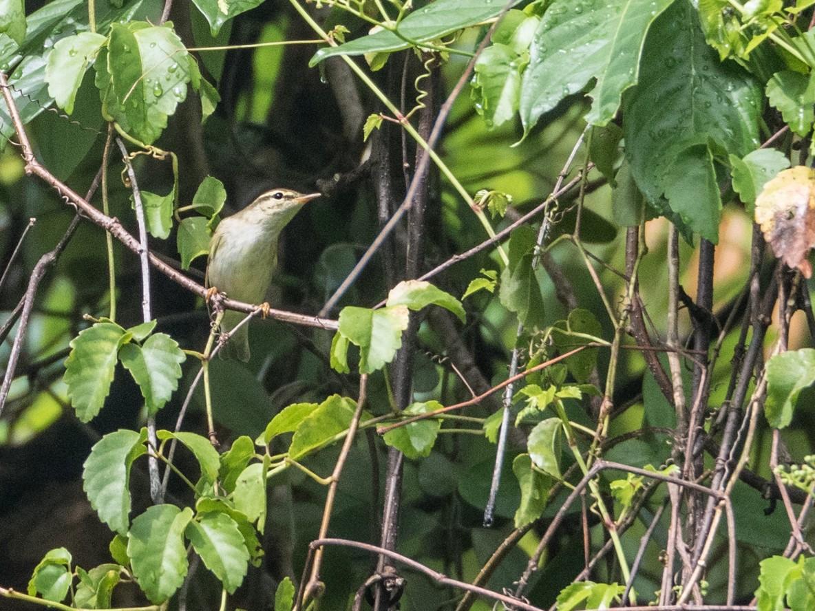 Kamchatka Leaf Warbler - Forest Jarvis