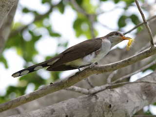 - Pearly-breasted Cuckoo