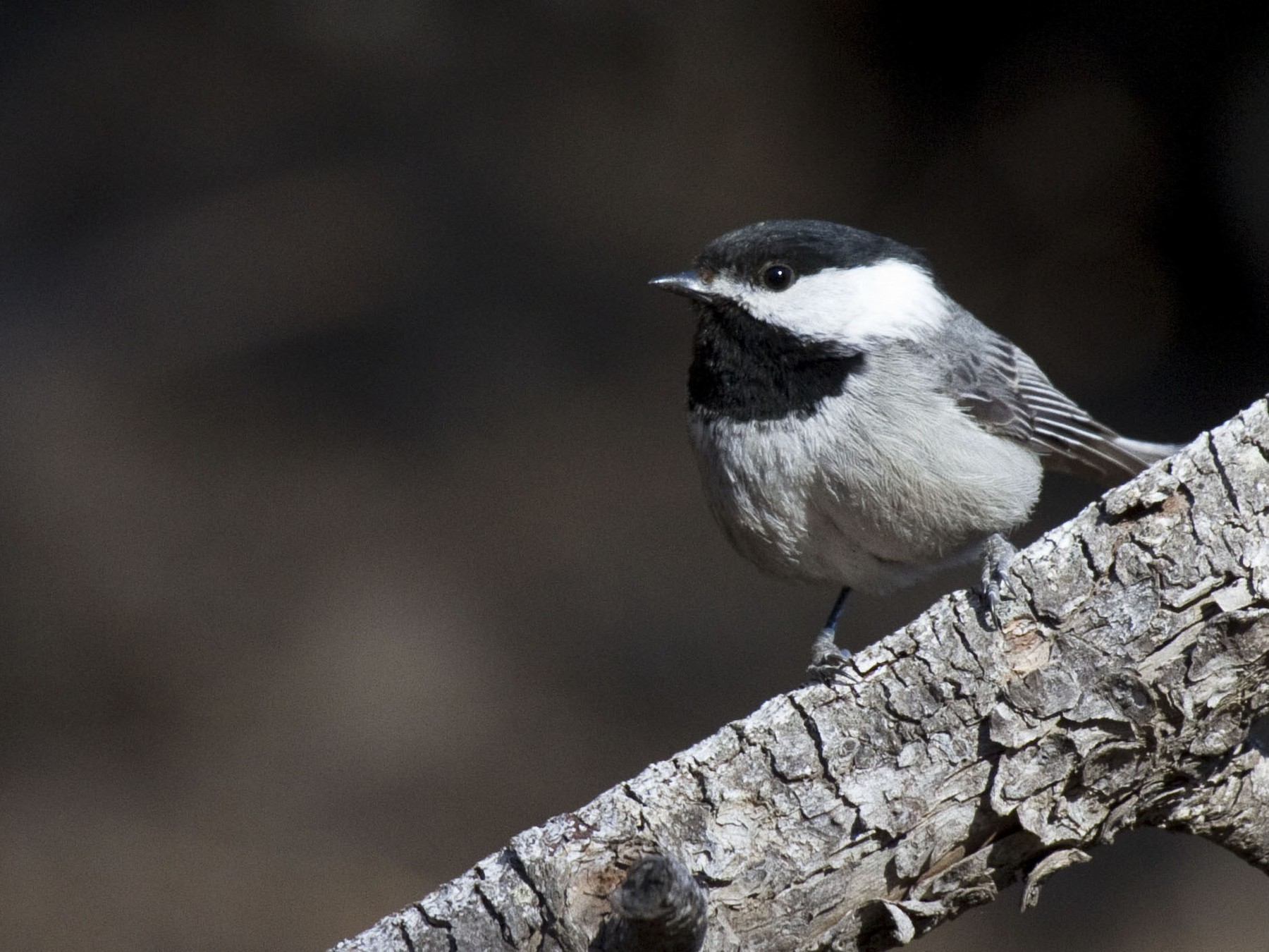 Mexican Chickadee - Laura Keene