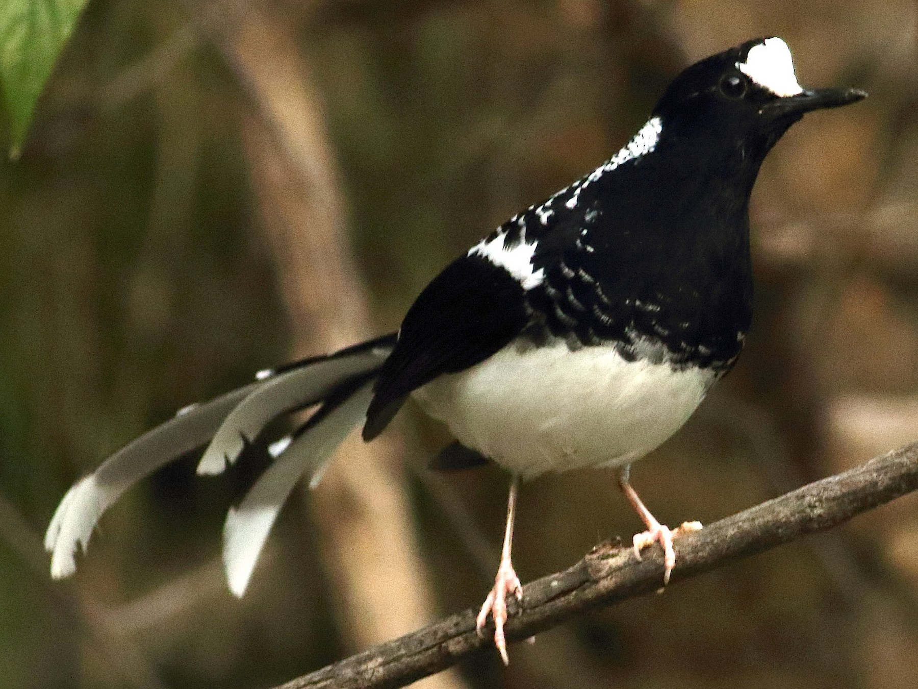 Spotted Forktail - Aidan Fonseca