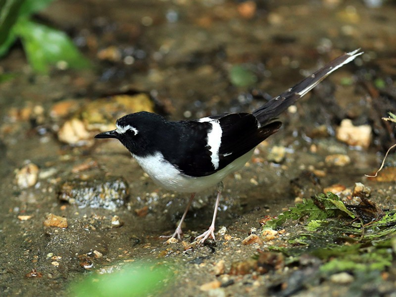 Black-backed Forktail - Qiang Zeng