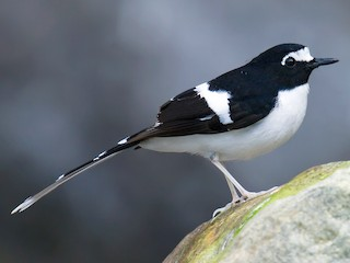 - Black-backed Forktail