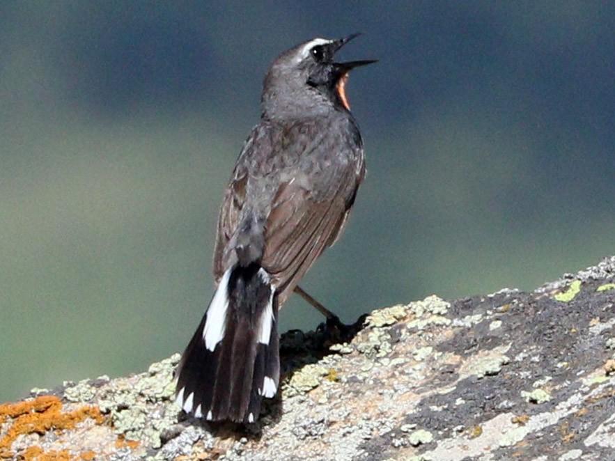 Himalayan Rubythroat - Suresh  Rana