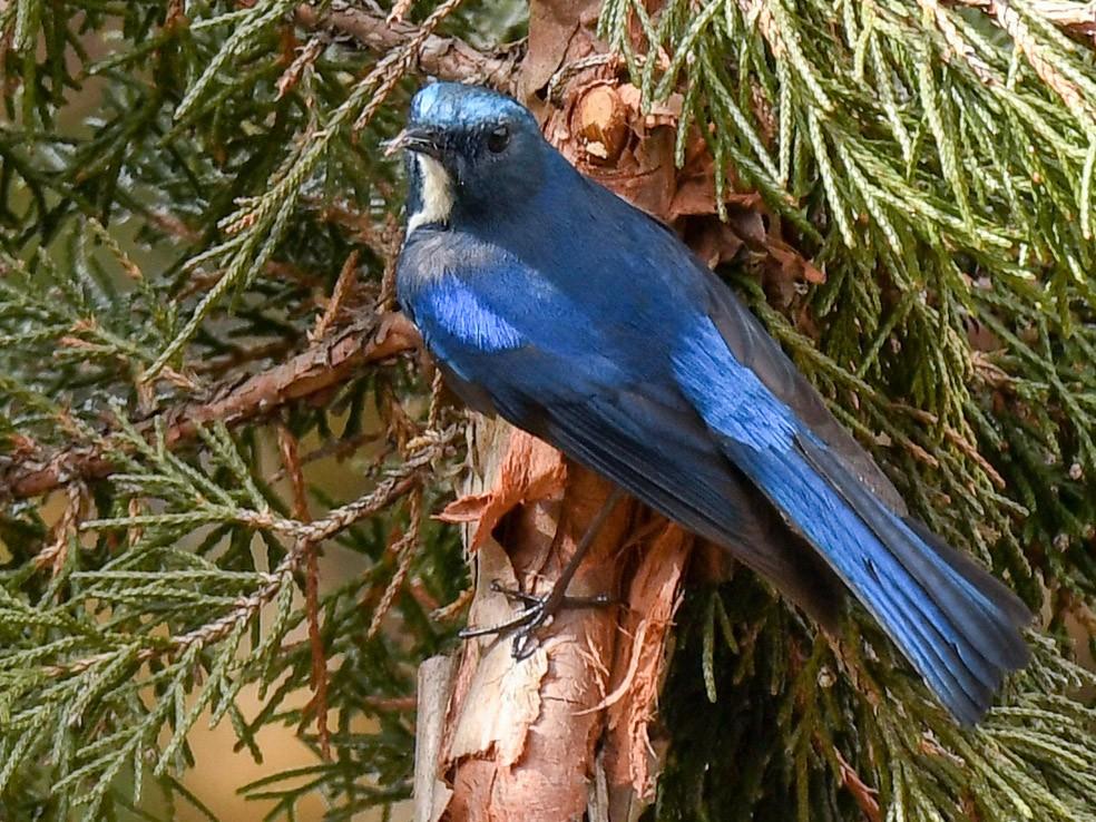Himalayan Bluetail - Saurabh Sawant