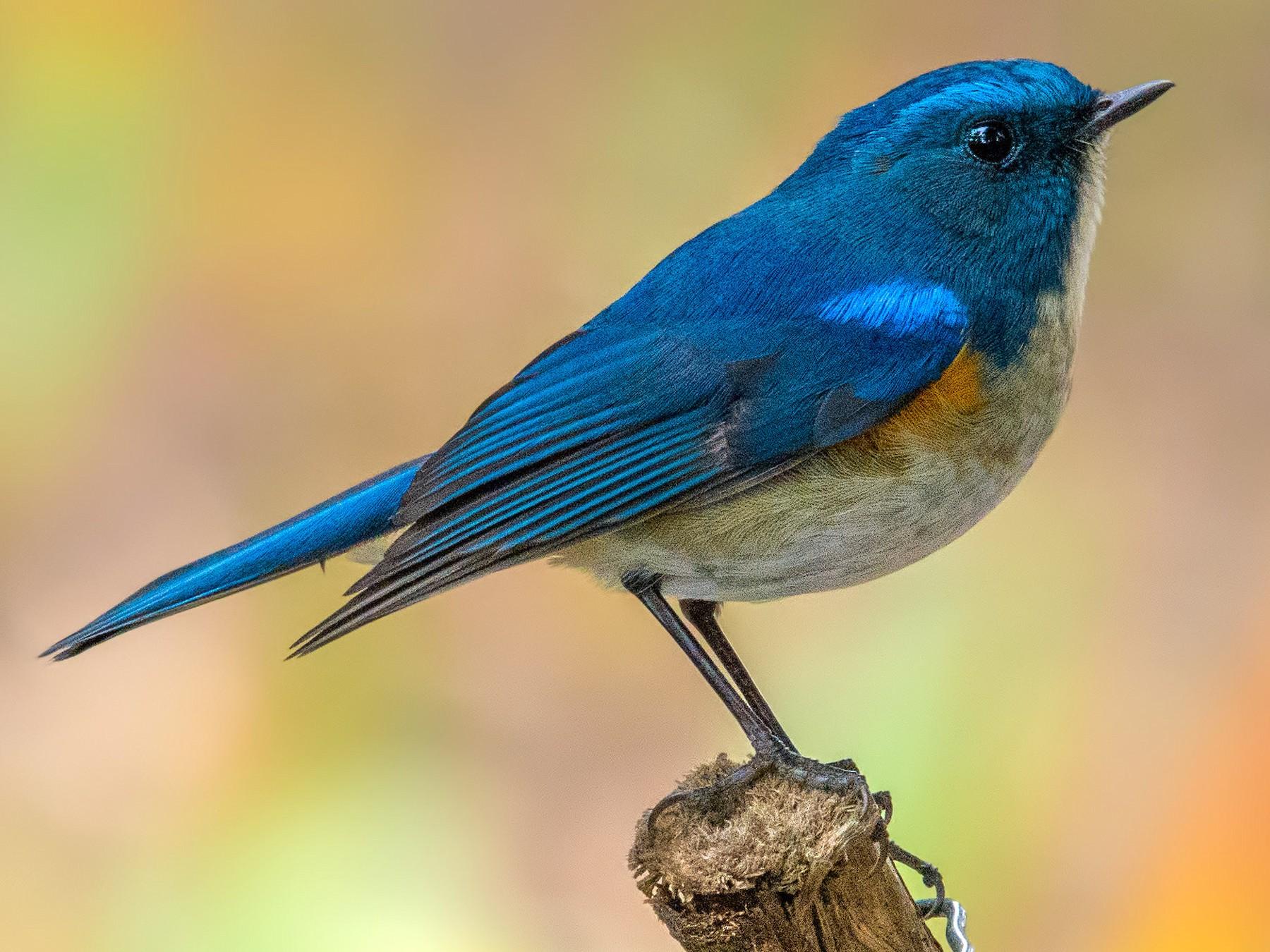 Himalayan Bluetail - Abhishek Das