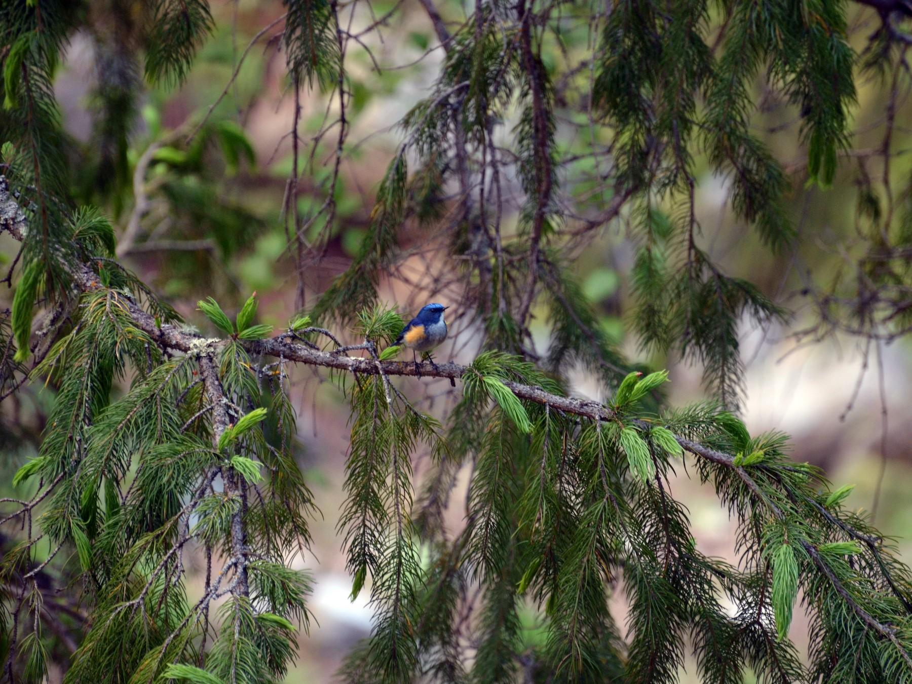 Himalayan Bluetail - Kulbhushansingh Suryawanshi