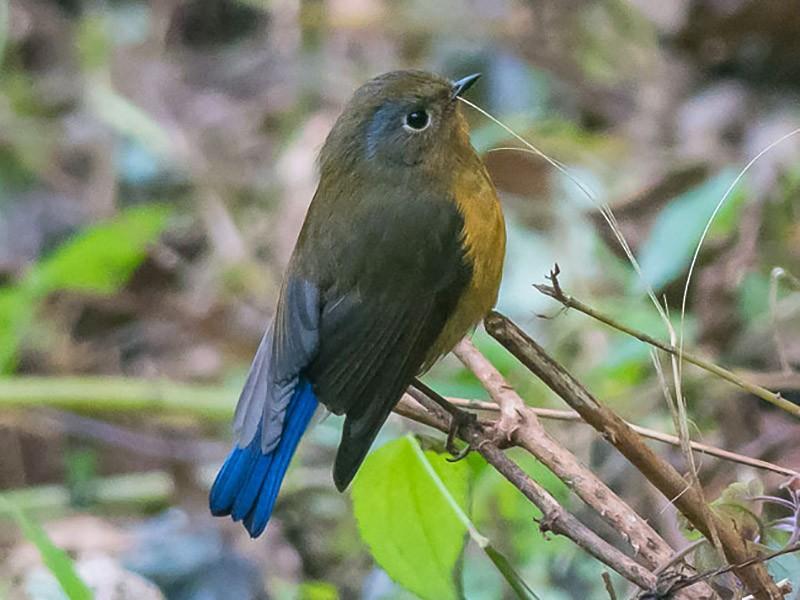 Rufous-breasted Bush-Robin - Sumit  Sengupta