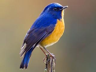 - Rufous-breasted Bush-Robin