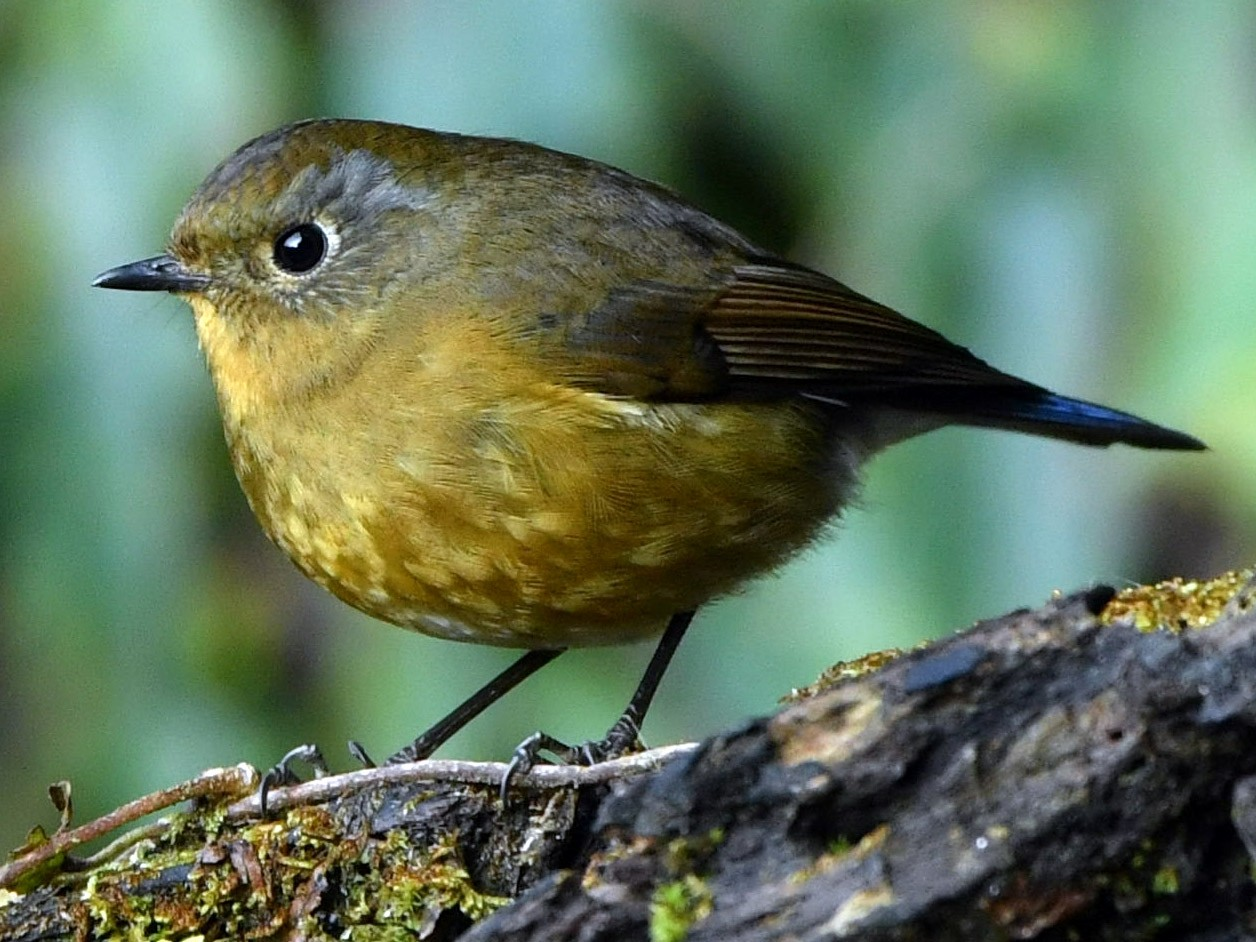 Rufous-breasted Bush-Robin - Vinoba Anand