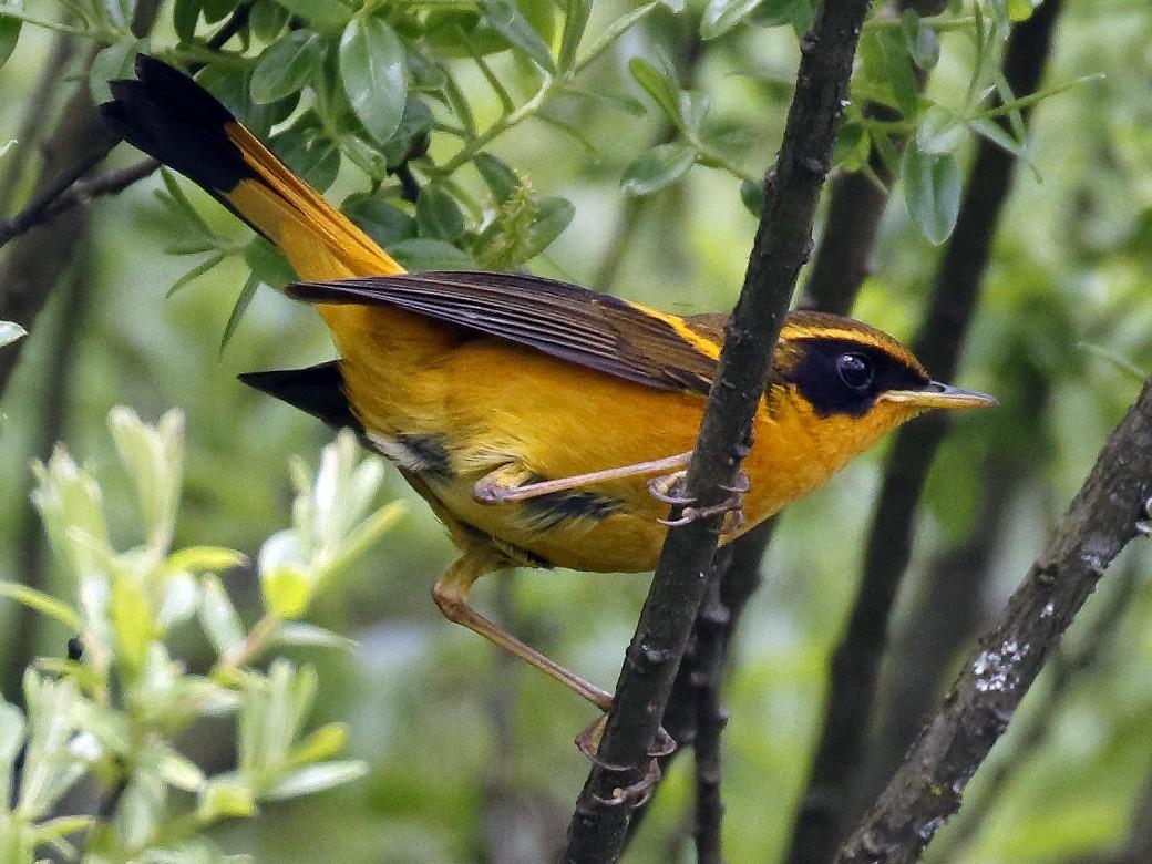 Golden Bush-Robin - Dave Curtis