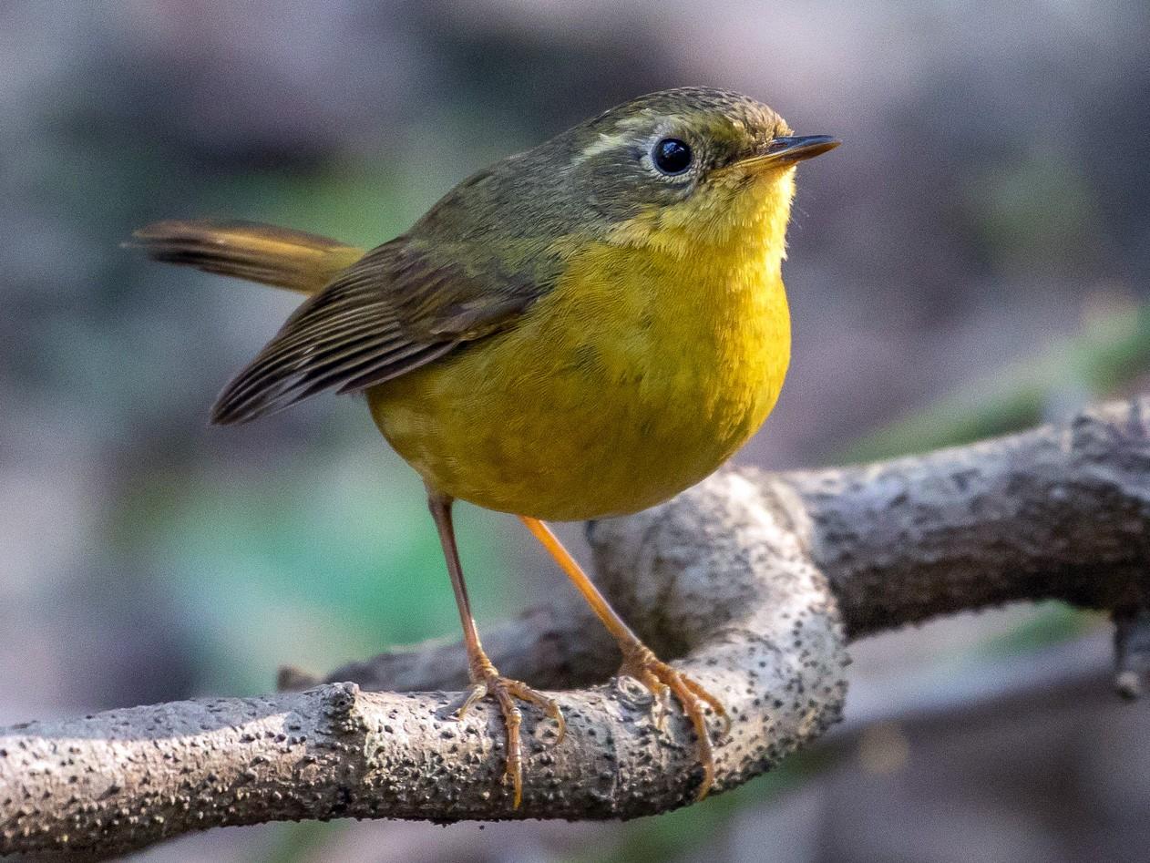 Golden Bush-Robin - Louis Bevier