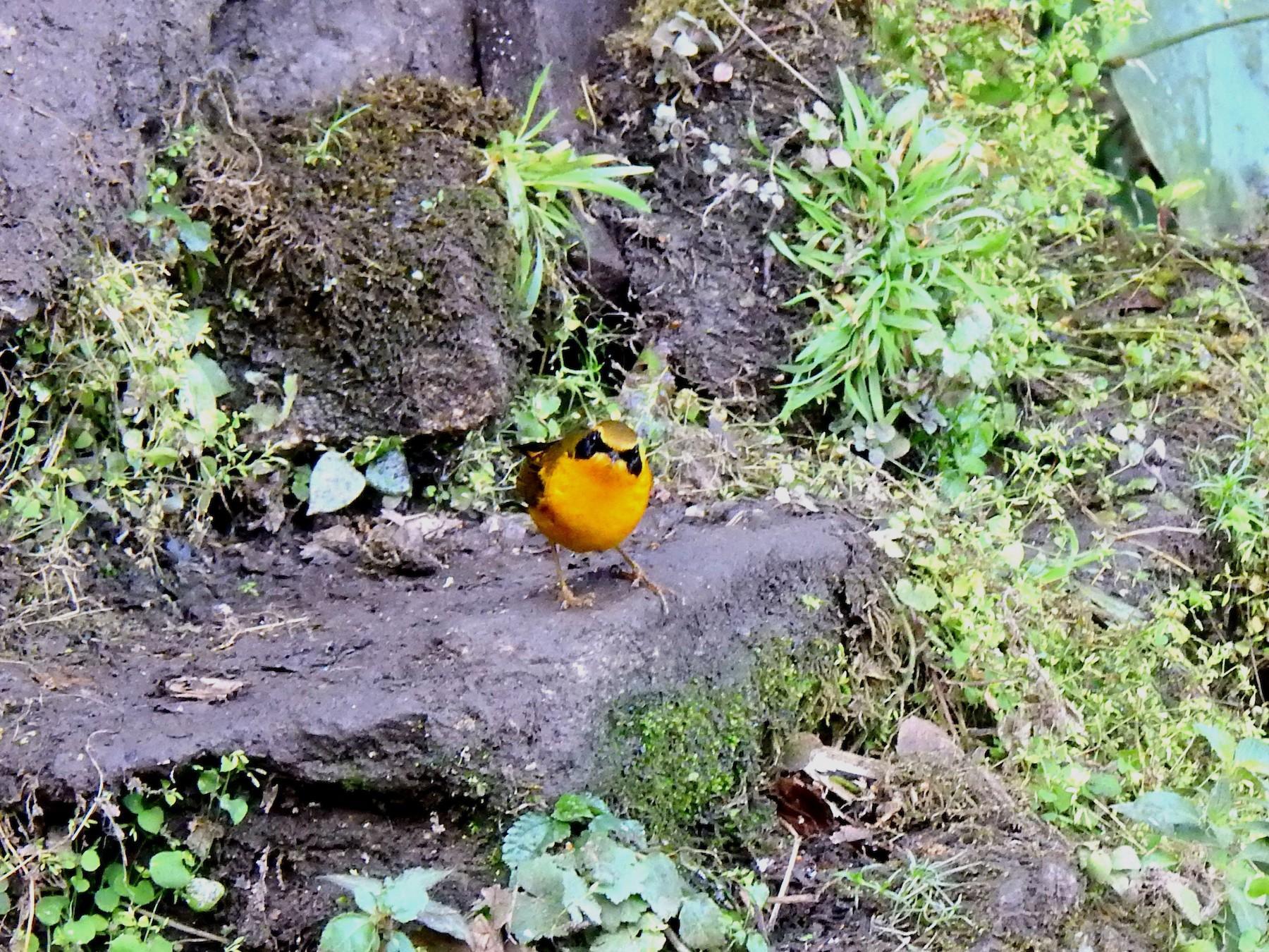 Golden Bush-Robin - Liao Tzu-Chiang