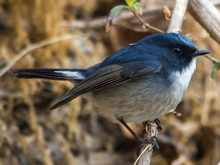 - Slaty-blue Flycatcher