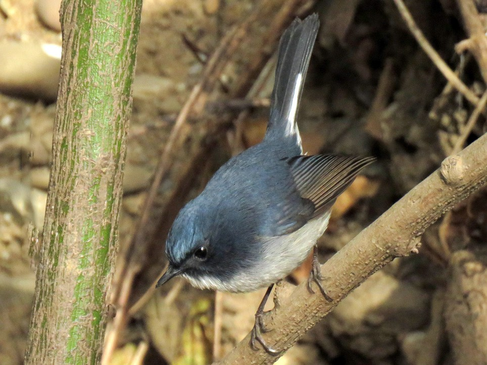 Slaty-blue Flycatcher - Maneesh Rajvanshi