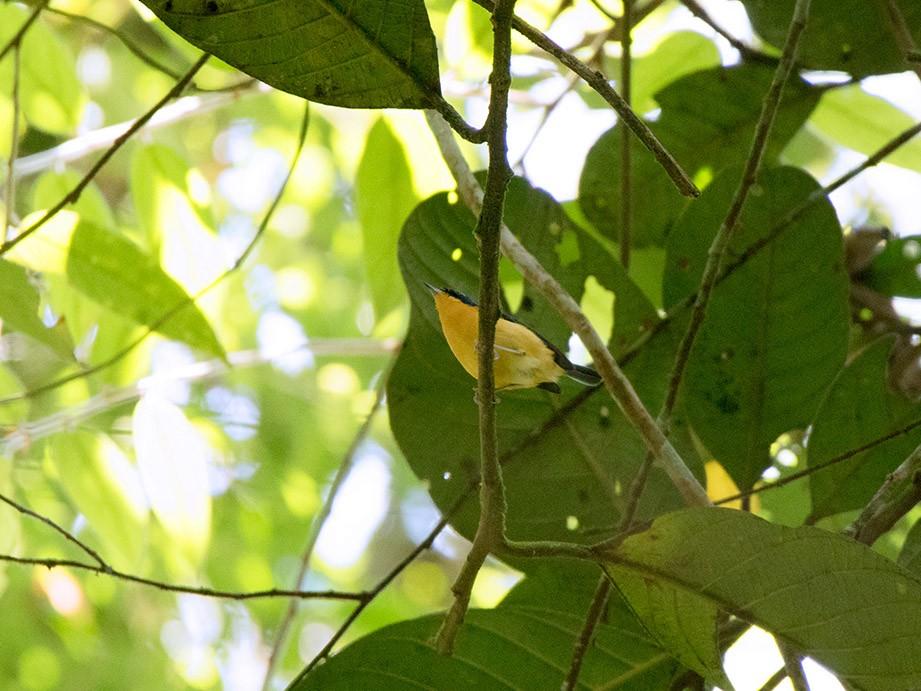 Pygmy Flycatcher - Ayuwat Jearwattanakanok