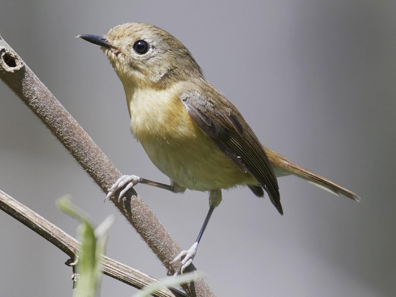Pygmy Flycatcher - S S Cheema