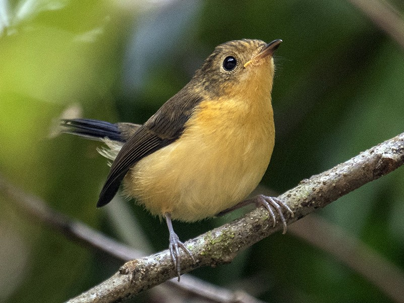 Pygmy Flycatcher - Dinh Thinh