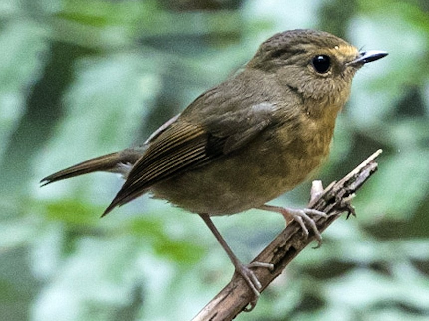 Pygmy Flycatcher - Stefan  Hirsch