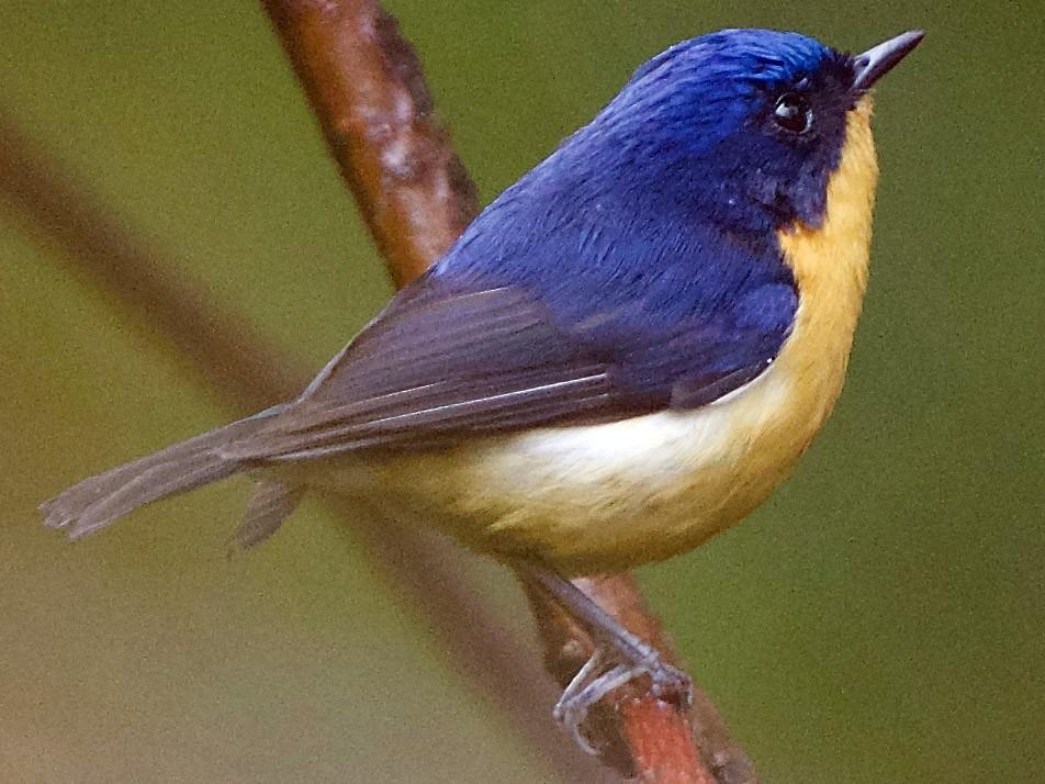 Pygmy Flycatcher - Snehasis Sinha