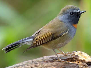 - Rufous-gorgeted Flycatcher