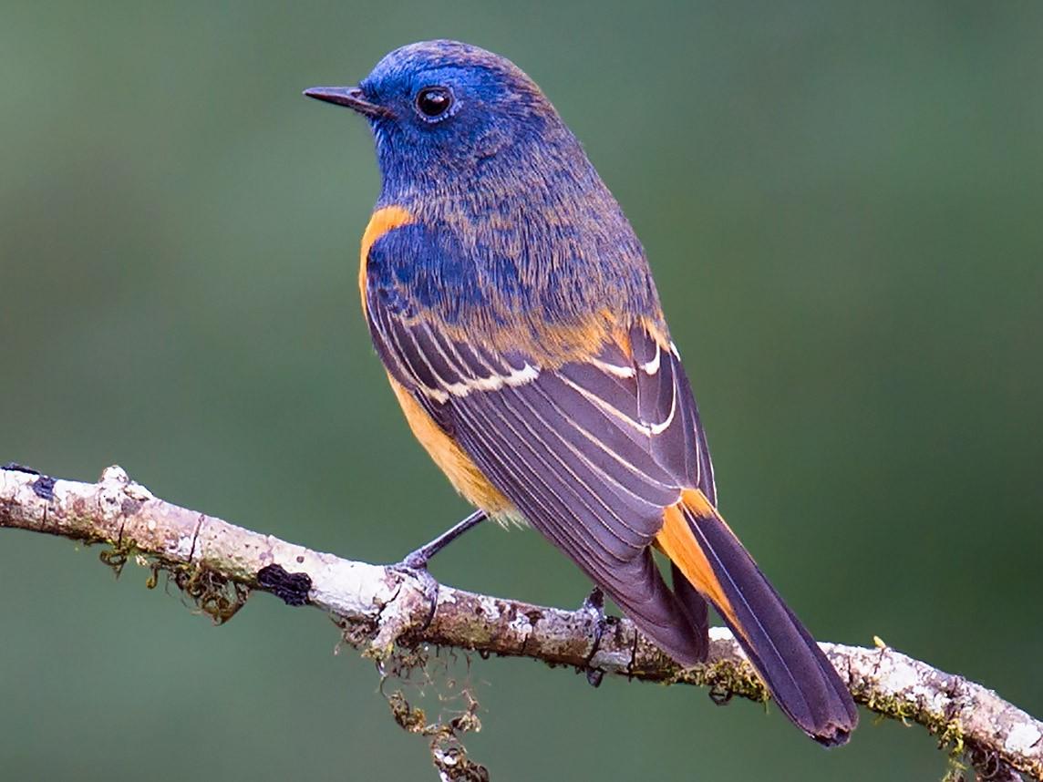 Blue-fronted Redstart - Craig Brelsford