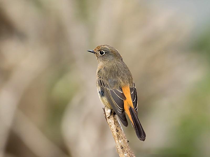 Blue-fronted Redstart - Jeroen Vanheuverswyn