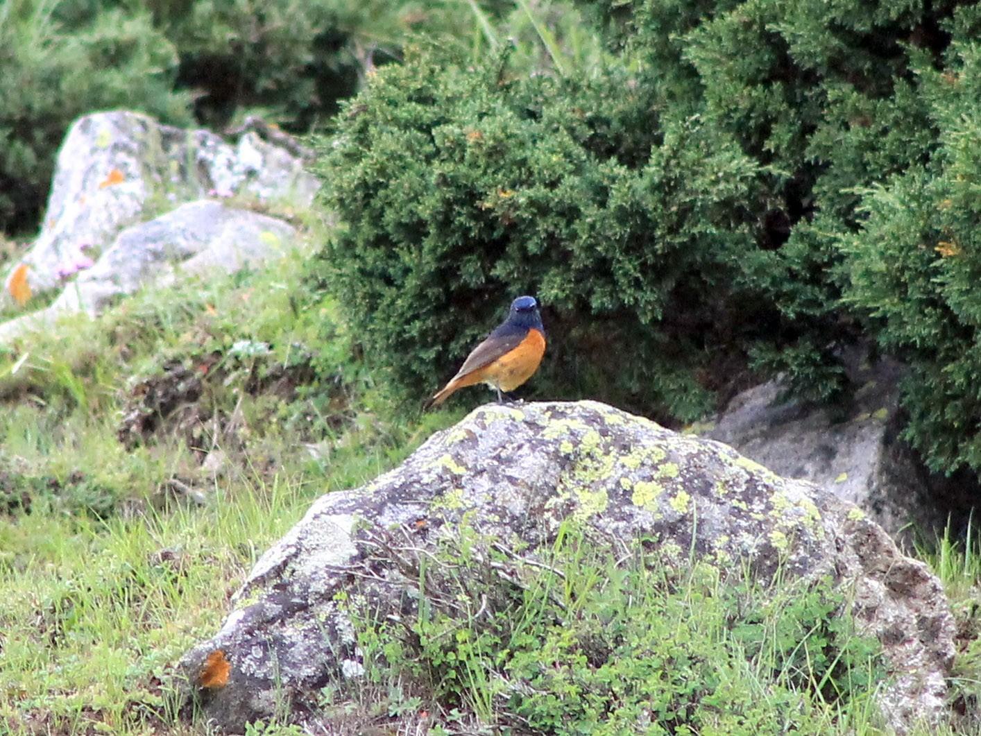Blue-fronted Redstart - Suresh  Rana