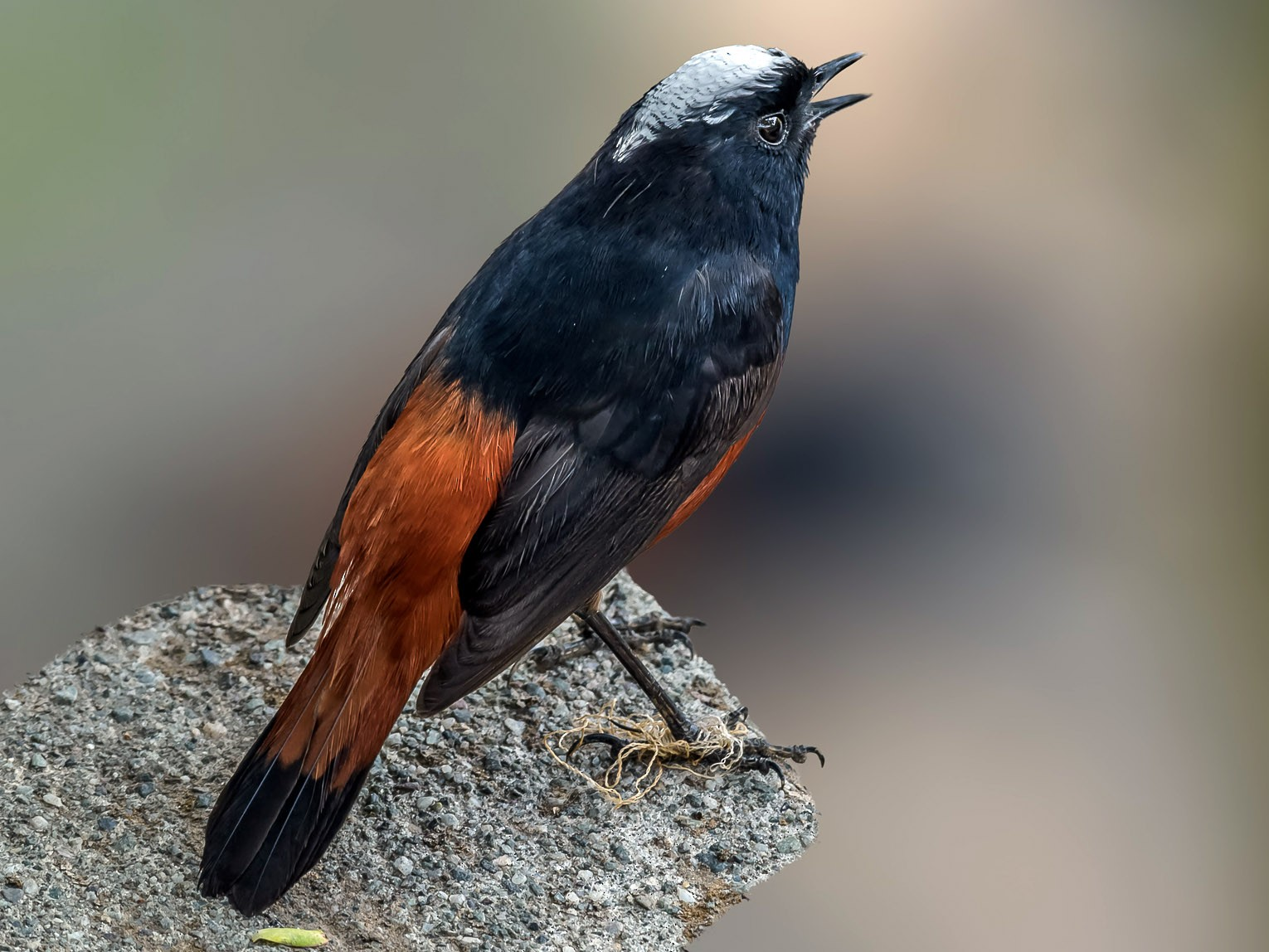 White-capped Redstart - Nitin Chandra