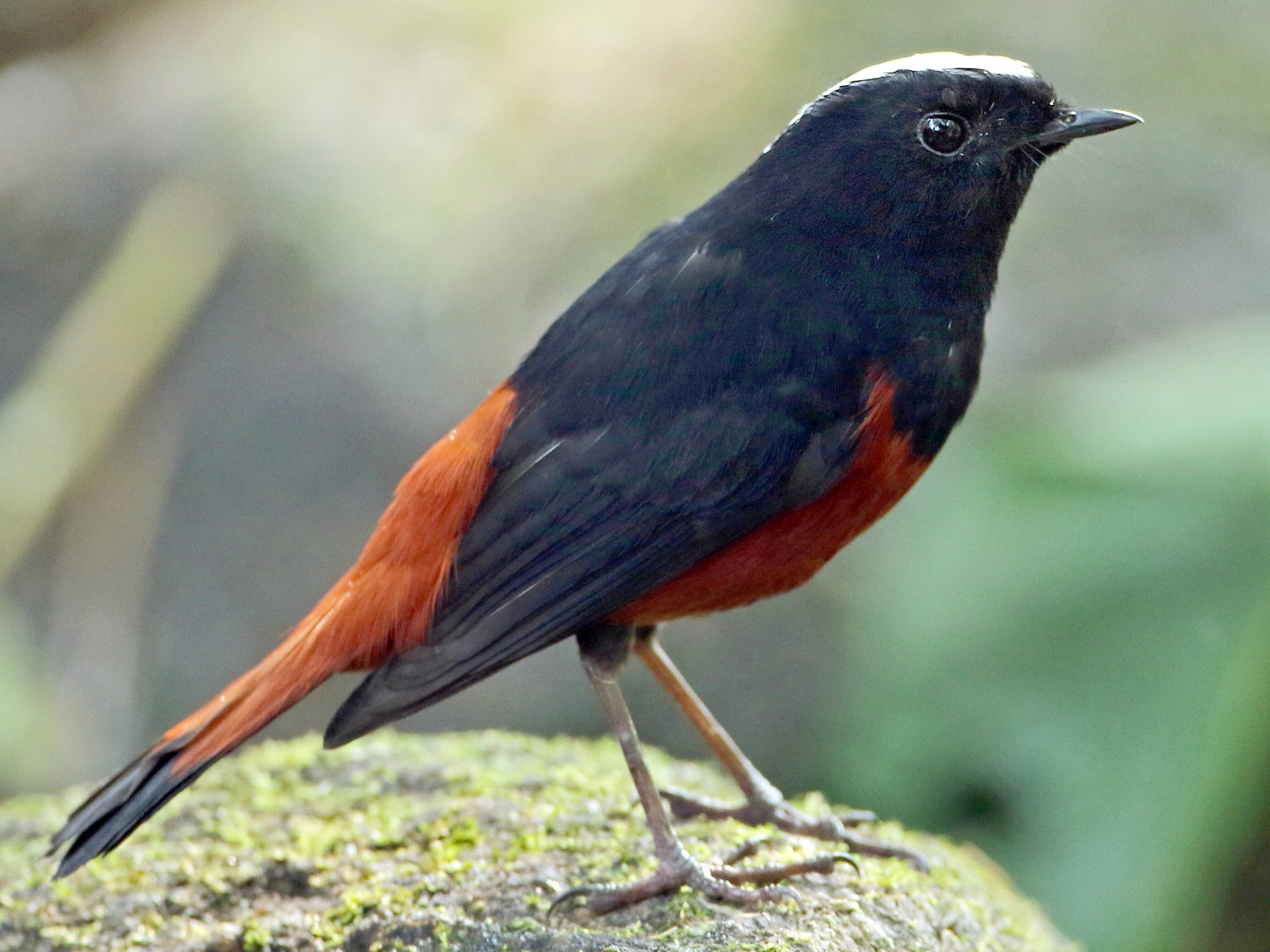 White-capped Redstart - Luke Seitz