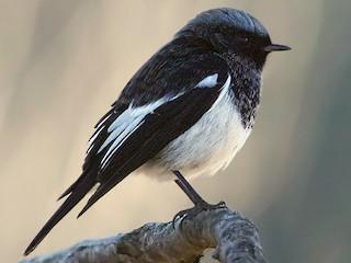 - Blue-capped Redstart