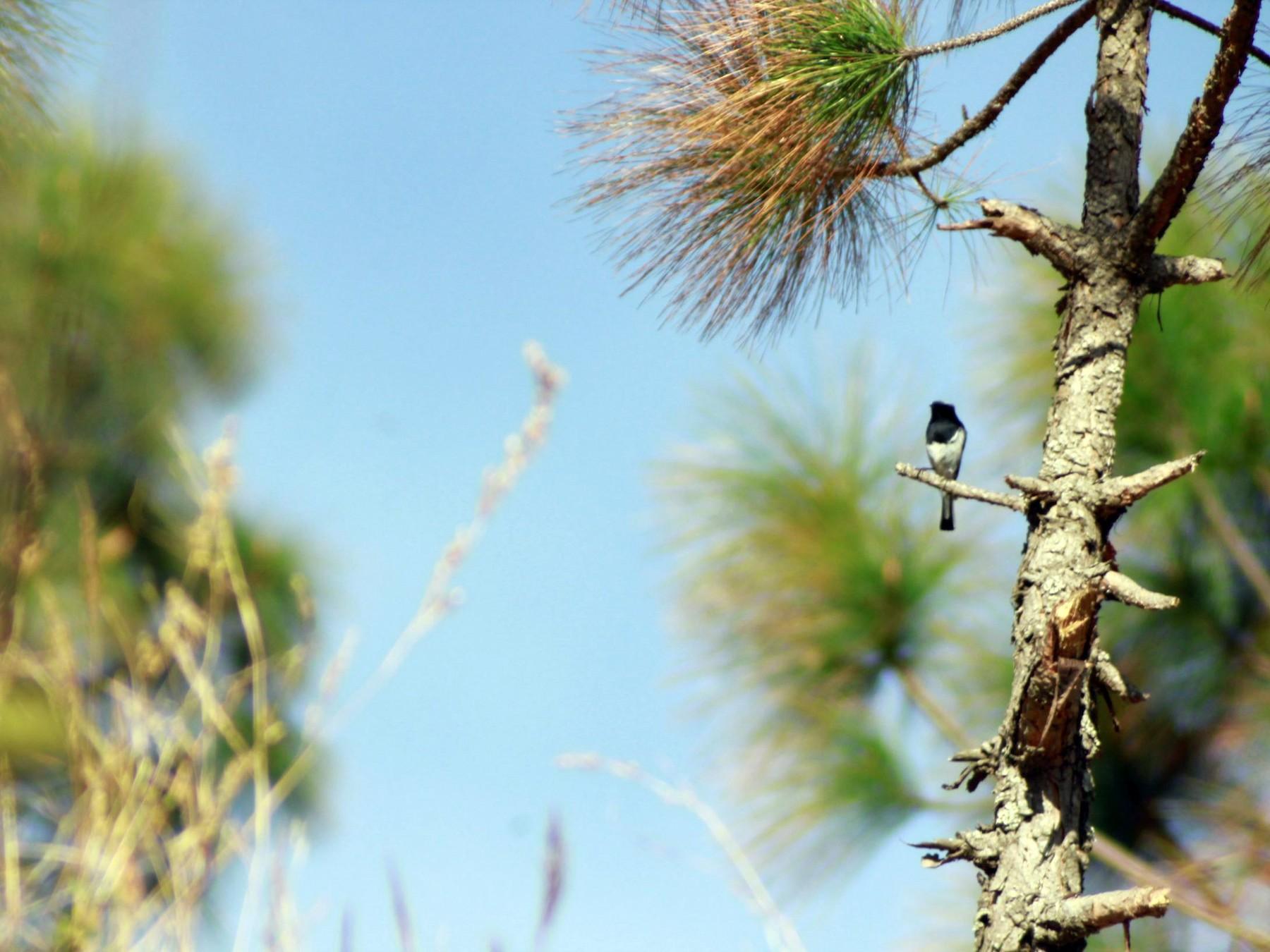 Blue-capped Redstart - pradeep Rana
