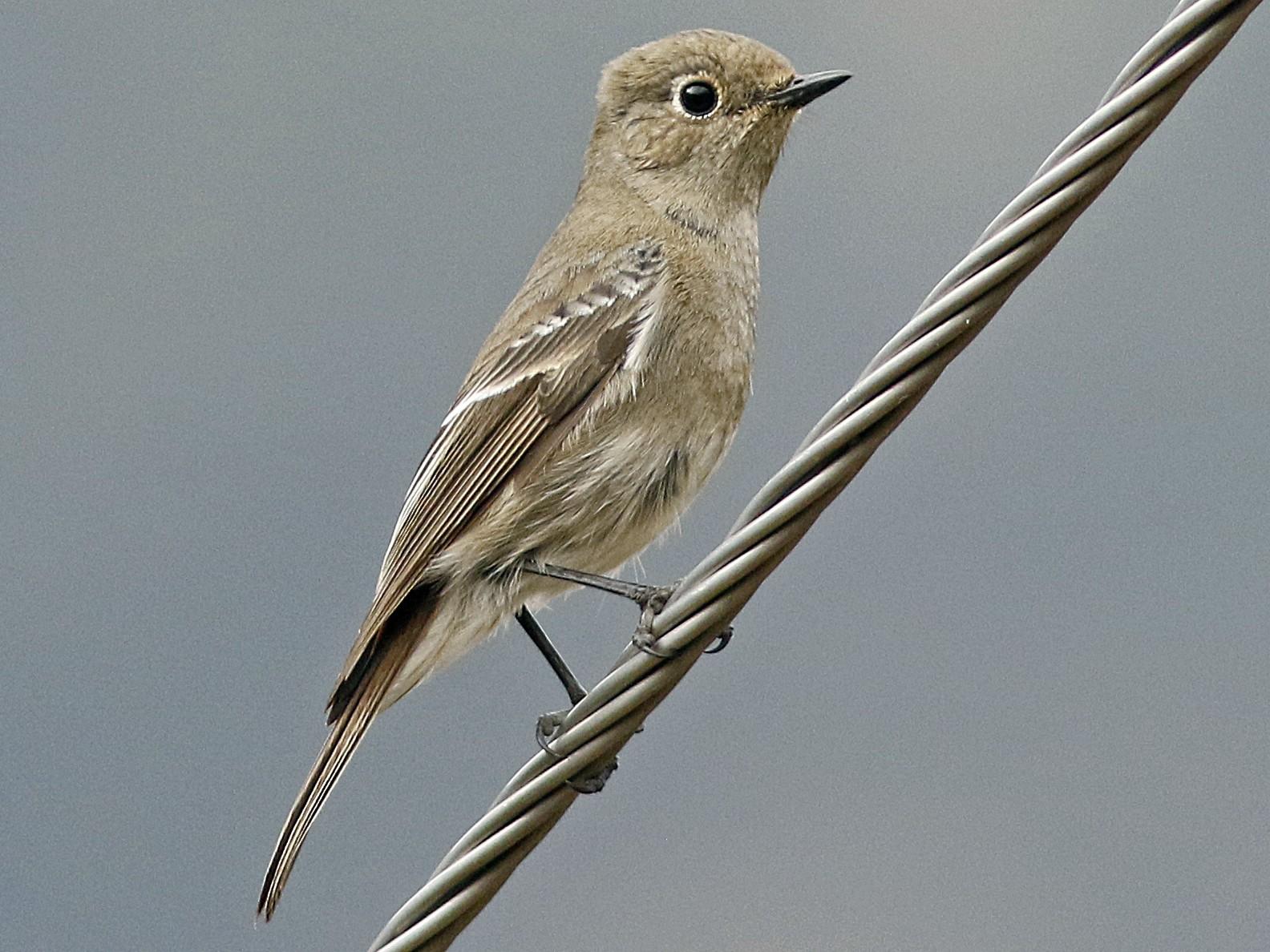 Blue-capped Redstart - Andy Warr