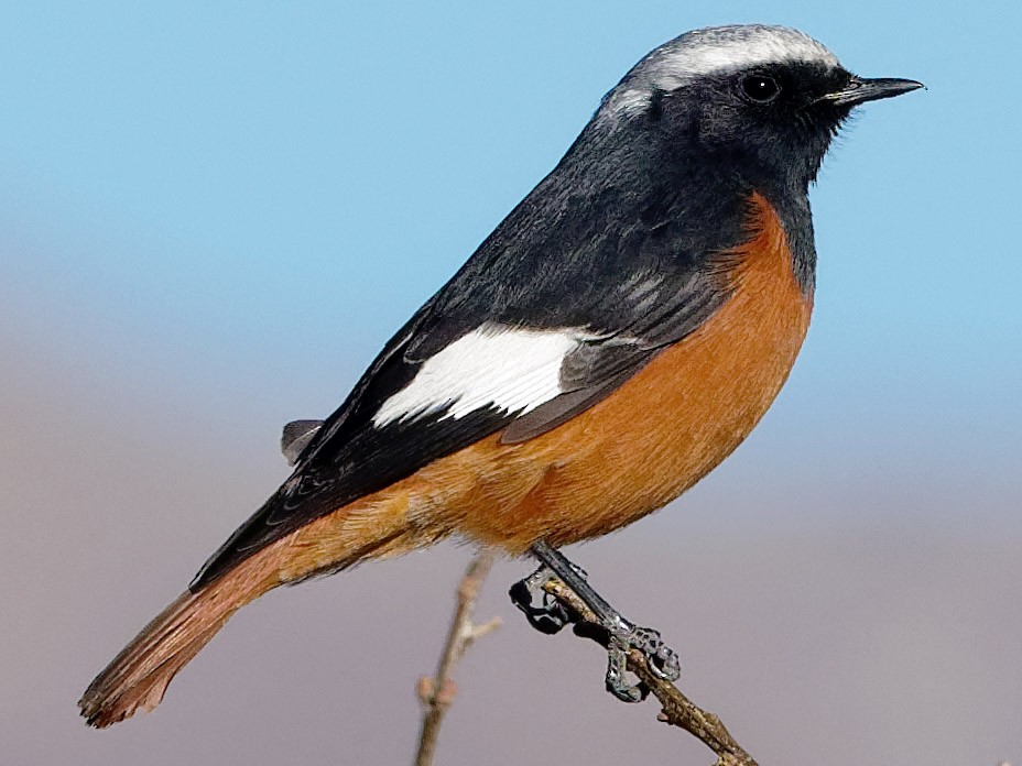 White-winged Redstart - Vincent Wang