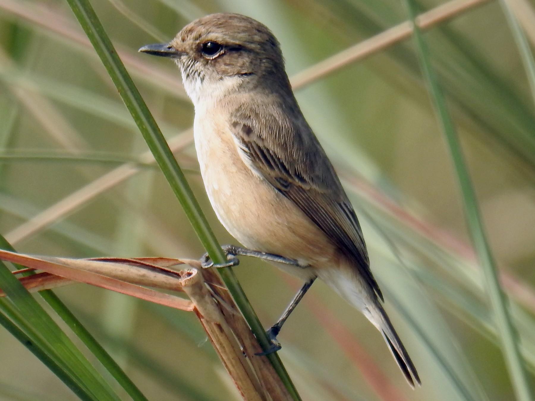 White-tailed Stonechat - Akash Gulalia