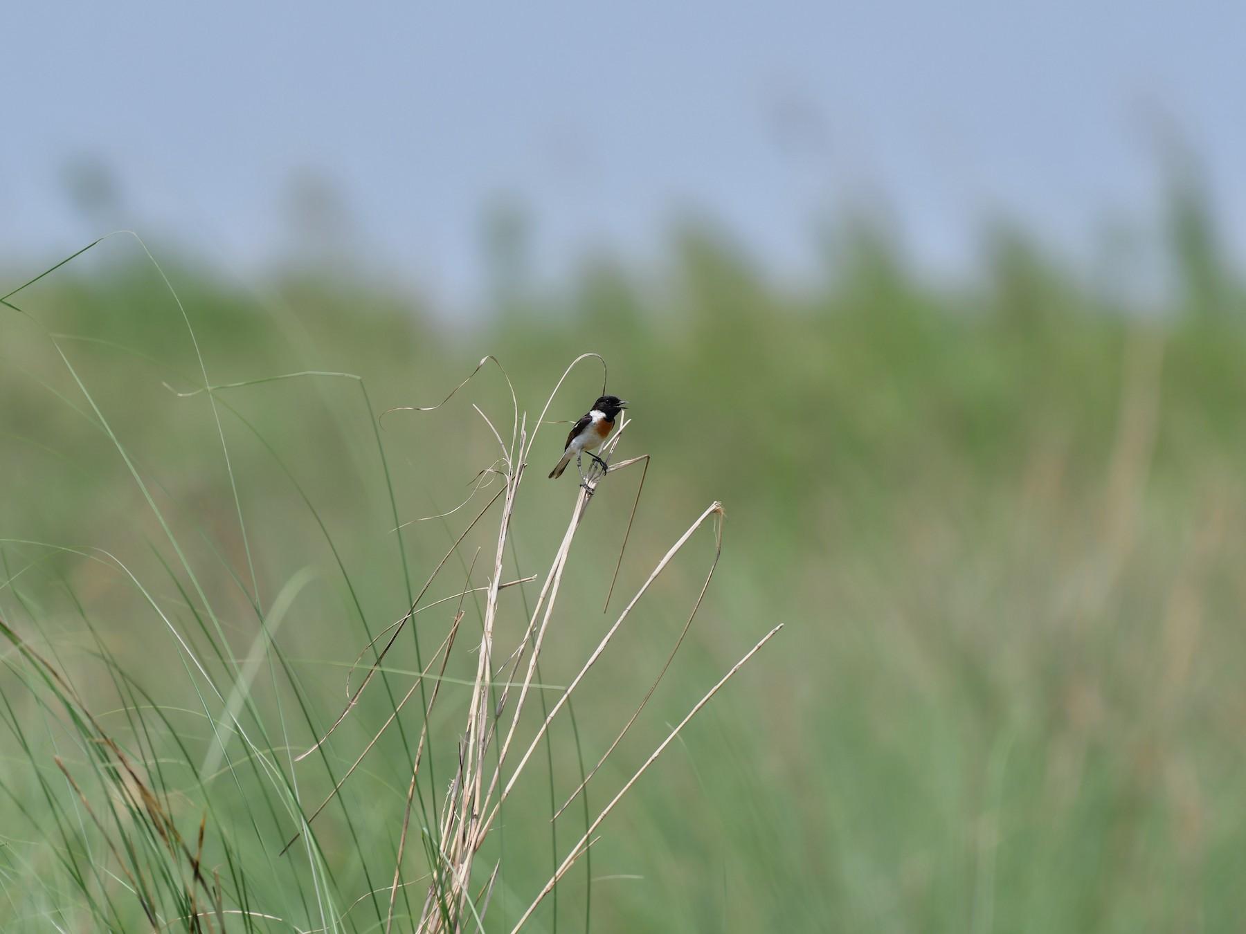 White-tailed Stonechat - Rajendra Gurung